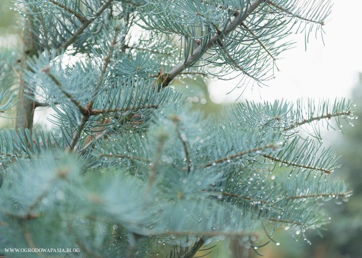jodła kalifornijska (Abies concolor)