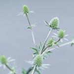 mikołajek roślina