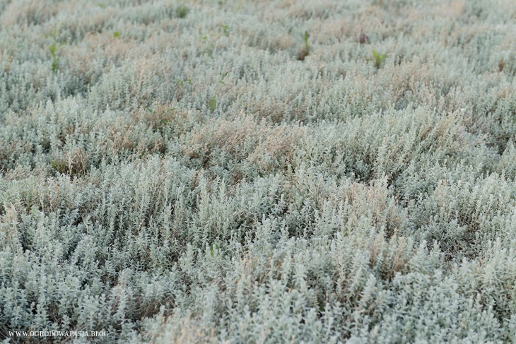 rogownica kutnerowata (Cerastium tomentosum)