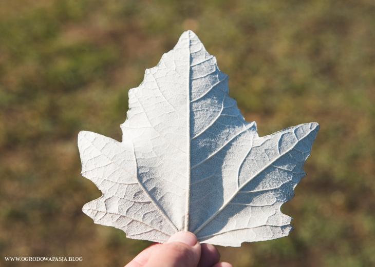 Topola biała (Populus alba)- liść