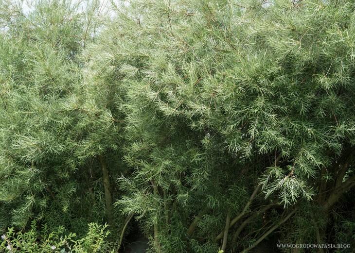 wierzba mała (Salix exigua)