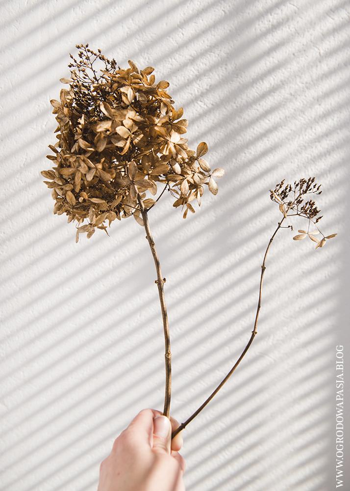hydrangea paniculata Phantom