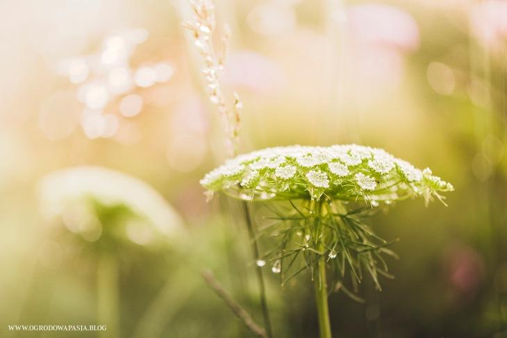 kwiat aminka