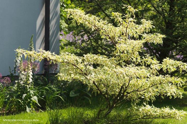 dereń pagodowy variegata