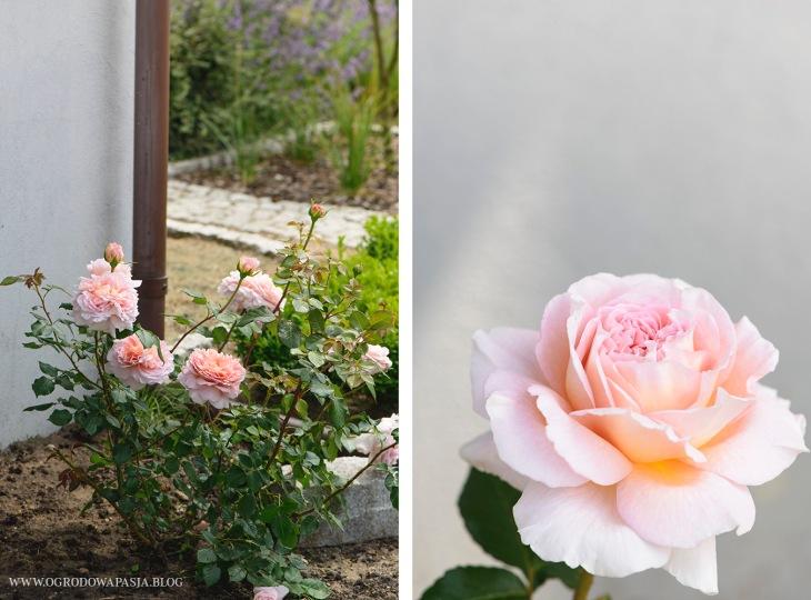 róża burbońska
