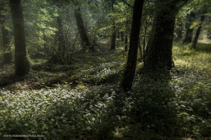 kwitnący czosnek niedźwiedzi